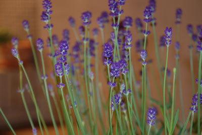 070421_lavender